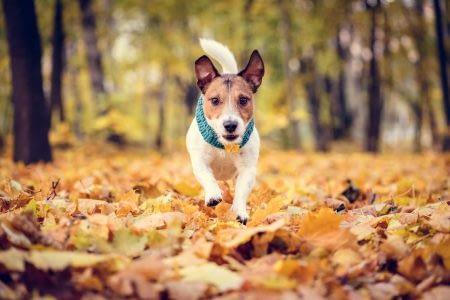 Jack Russell Terrier terrier running towards camera