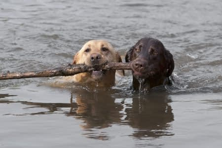 Yellow and Chocolate Labrador Retrievers swimming with stick